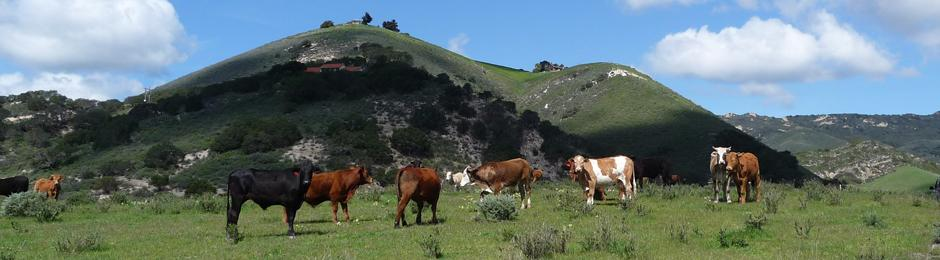 Agricultural Preserve cattle at Hollister Ranch